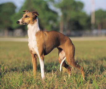 greyhound-anglicky-chrt-6 - Rasy psů 1c6b87fd9f